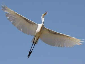 White-Heron_-Photograph-by-Mark-Richardson-My-Shot_-Bird-_-This-photo-and-caption-were-submitted-to-My-Shot