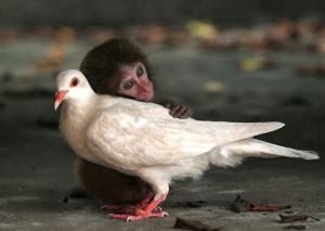 monkey-pigeon700x463